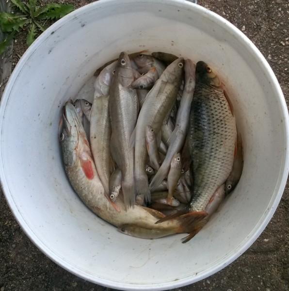 Aasee_Netzbefischung1_ZanderRotauge