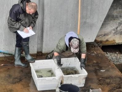 Abfischen Tosbecken Aa-See auslauf Königsmühle (27)
